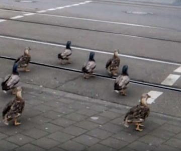 Lo que esconde el video de los patos cruzando la calle cuando el semáforo se pone en verde