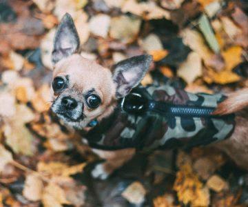 Gaviota se lanzó en picada a un jardín y «secuestró» a un perro chihuahua